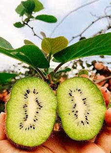 猕猴桃种植